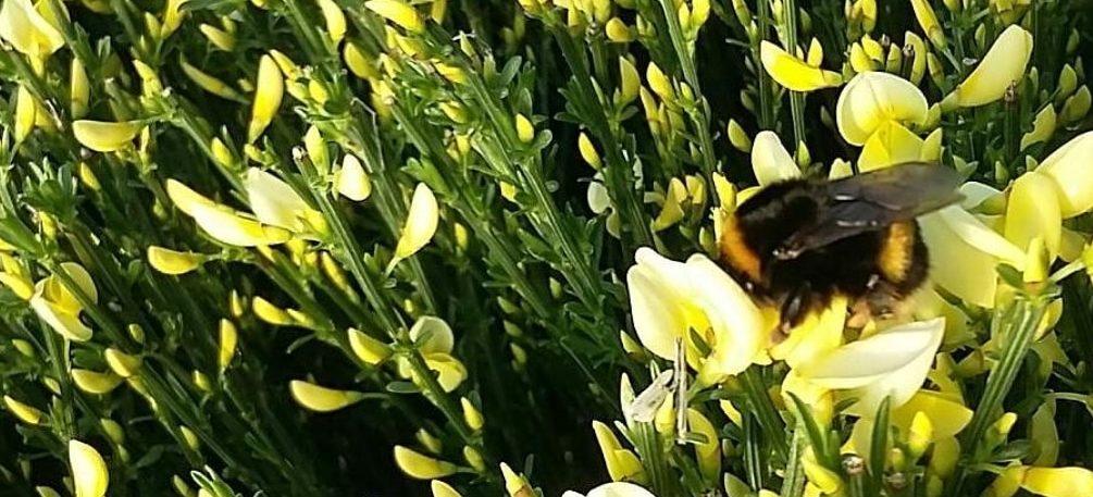 Bij vriendelijke plant - Cytisus